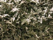 Thuja onder sneeuw Royalty-vrije Stock Foto