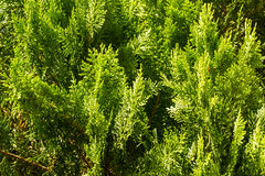 Thuja orientalis Royalty Free Stock Photography