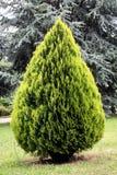 thuja orientalis conifer вечнозеленый Стоковая Фотография RF