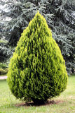 Thuja orientalis, evergreen conifer Royalty Free Stock Photography