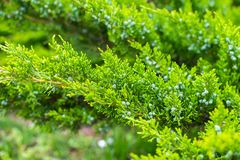 Thuja orientalis or Pine Tree with soft focus, macro shot, for background or texture use. Beautiful green christmas leaves of Thuj. A trees Royalty Free Stock Image