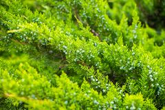 Thuja orientalis or Pine Tree with soft focus, macro shot, for background or texture use. Beautiful green christmas leaves of Thuj. A trees Royalty Free Stock Photography