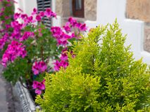 Thuja and pelargonium Royalty Free Stock Images