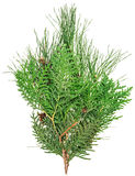Thuja and pine twigs isolated Stock Photos