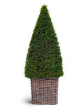 thuja plant in basket Stock Photos