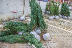 Thuja plants ready for planting Stock Image