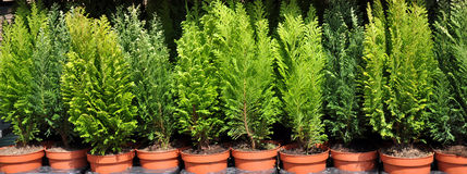 Thuja in pots_1 Royalty Free Stock Image