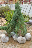 Thuja root balls plants ready for planting Royalty Free Stock Photo