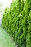Thuja, row of trees. Thuja  row of trees in the garden Stock Images