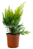 Thuja sapling Stock Photography