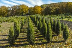 Thuja saplings in Pyatigorsk. Royalty Free Stock Image