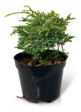 A Thuja seedling in a pot Royalty Free Stock Image
