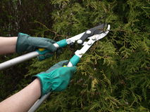 Thuja shearing. Man workin in garden: shearing thuja tree Royalty Free Stock Image