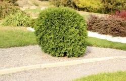 Thuja shrub in the autumn garden Royalty Free Stock Photography