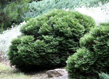 Thuja small coniferous ornamental plant Stock Photos