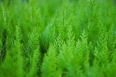 Thuja small coniferous ornamental plant green background stock images