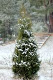 Thuja in the snow-covered park stock photo