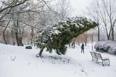 Thuja in a snowy park Stock Photo