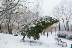 Thuja in a snowy park Stock Image