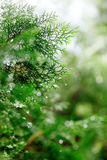 Thuja with in spring Royalty Free Stock Images