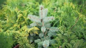 Thuja, spruce and other ornamental trees and shrubs in a plant store outdoors. Alternative Christmas decoration at. Holidays 4k stock video footage