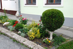 Thuja on the street. Thuja in the flower bed Stock Photography