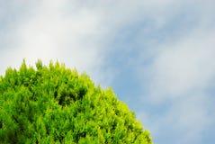 Thuja su cielo blu Fotografia Stock Libera da Diritti