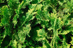 Thuja Texture. Royalty Free Stock Photos