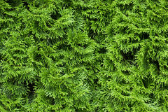 Thuja texture Royalty Free Stock Images