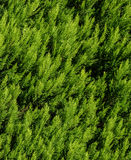 Thuja texture. Green thuja tree branches and leaves as natural background. Stock Photos