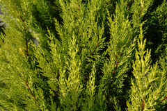 Thuja texture. Green thuja tree branches and leaves as natural background. Stock Photography