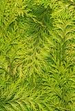 Thuja_texture_light Stock Foto