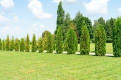 Thuja Träd och buskar växer i parkera fotografering för bildbyråer