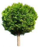 Thuja tree Royalty Free Stock Image