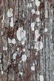 Thuja tree background. Wood thuja tree, moss and lichen growing on tree trunk Stock Photo