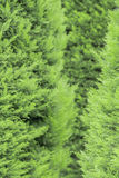 Thuja tree. A beautiful green color, a beautiful composition. perfect background Royalty Free Stock Photo