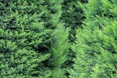 Thuja tree. A beautiful green color, a beautiful composition. perfect background Stock Photography