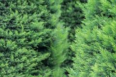 Thuja tree Stock Photography