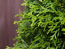 Thuja tree branches Royalty Free Stock Image