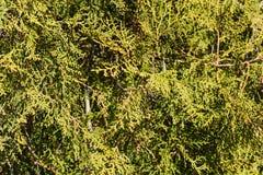 Thuja tree branches close up Stock Photos