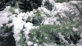 Thuja tree branches covered by snow. first snow. Thuja tree branches covered by snow stock video