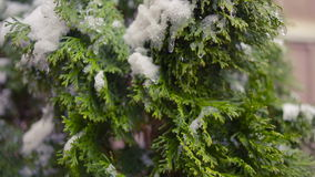 Thuja tree branches covered by snow. first snow. Thuja tree branches covered by snow stock video footage