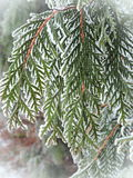 Thuja tree branches in frost Stock Images