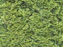 Thuja Tree Closeup Royalty Free Stock Photography