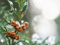 Thuja tree winter background. Thuja tree and cones covered with ice in the winter Stock Photography