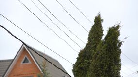 Thuja tree dangerously close to power lines on a windy day