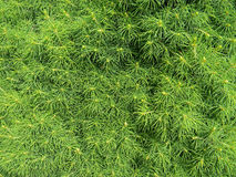 Thuja tree detail Royalty Free Stock Images
