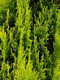 Thuja tree detail Royalty Free Stock Photography