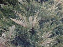 Thuja. Tree green plant nature Royalty Free Stock Photo