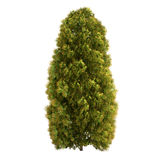 Thuja Tree Isolated Stock Image